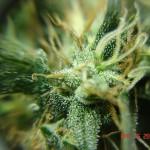 marihuana-hairs-and-resin